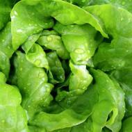 Sfanta Ana (2 g) seminte de salata capatana mare si compacta, Prima Sementi