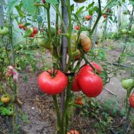 Siberian Giant (30 seminte) rosii gigant culoare rosu-zmeuriu, de clima rece, soi heirloom, Rusia