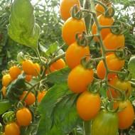 Skate F1 - 500 sem - Seminte de rosii cherry galbene cu crestere nedeterminata si forma alungita avand in medie 18-22 grame/fruct de la Esasem