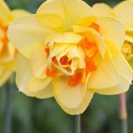 Tahiti (5 bulbi), narcise galbene cu pete in nuante de portocaliu sau galben intens, bulbi de flori