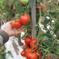 Tomate Mariuca - 5 gr - Seminte de rosii romanesti cu crestere determinat de la SCDL Buzau