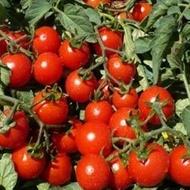Tomito F1 - 500 sem - Seminte de rosii cherry ce se remarca prin capacitatea ridicata de productie cu crestere determinata fructele oferind o rezistenta sporita la manipulare de la Isi Sementi