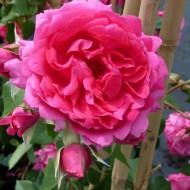 Trandafir catarator Parade, butasi de trandafiri urcatori cu inflorire repetata, parfum discret si flori mari, de culoare roz luminos, Yurta