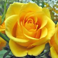 Trandafir Gold Monik (1 butas), flori bogate si colorate, butasi de trandafiri