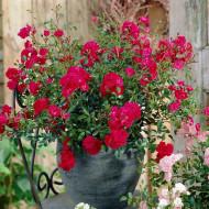 Trandafir pitic Red (1 butas), trandafir pitic cu flori rosii, butasi de trandafiri