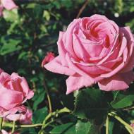 Trandafir urcator Coral Dawn (1 butas), trandafir urcator cu flori parfumate de culoare roz, butasi de trandafiri