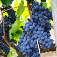Vita de vie Cadarca, butas de vita de vie soi romanesc, ideal pentru vinuri rosii de calitate superioara, Yurta