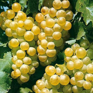 Vita de vie Muscat Ottonel, butas de vita de vie soi cu struguri albi-aurii, ce produc un vin cu aroma si gust exceptionale, Yurta