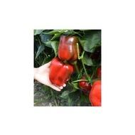 Yecla F1 - 500 sem - Seminte de ardeigras timpuriu verde/rosu la maturitate fruct mare 170-200 gr solar de la Syngenta