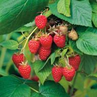 Zmeur Tulameen, butasi de zmeura soi cu fructe mari, gustoase, rezistente la manipulare, Yurta