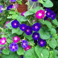Zorele urcatoare albastre (1 gram) seminte de flori planta anuala urcatoare, Agrosem
