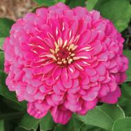 Carciumarese mari roz (100 seminte) de flori carciumareasa pink