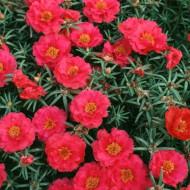 Flori de Piatra Rosii Duble (1000 seminte) Floare de Piatra Culoare Rosu Portulaca Grandiflora