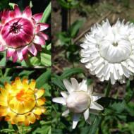 Flori de pai albe (0.4 grame) seminte de flori pentru uscare, Agrosem