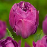 Abigail (8 bulbi), lalele mov usor batute, bulbi de flori