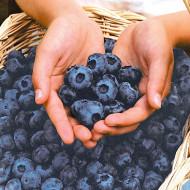 Afin Chandler, butasi de afine soi cu fructe mari cat o cireasa, cu gust dulce placut, Yurta