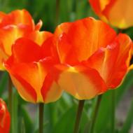 American Dream (8 bulbi), lalele rosu cu galben, bulbi de flori