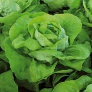 Analena - 5000 sem - Seminte drajate de salata cu frunze mari de grosime medie ce formeaza capatani trainice intr-un timp foarte scurt de la Enza Zaden