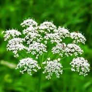 Anason - Seminte Plante Aromatice si Medicinale Anason de la Florian
