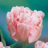 Angelique (8 bulbi), lalele roz delicate, bulbi de flori