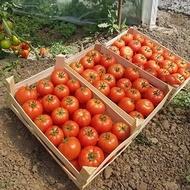Asia (Eurasia F1) - 1000 sem - Seminte de rosii nedeterminate cu fructe mari ferme si rotunde avand o greutate de 240-250 grame de la Yuksel