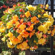 Begonie Picotee Yellow Red (2 bulbi), floare culoare alb cu rosu, bulbi de flori