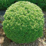 Busuioc mic Greco a Palla (1 g), seminte de busuioc cu tufa mica, cu frunze aromate, parfumate, Agrosem