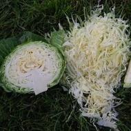 Cabbice F1-2500 sem.-seminte de varza alba,65 zile,vara-toamna,rezistenta in camp,2-4kg de la Hazera
