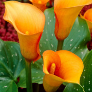 Cala Mango (1 bulb), floare mare, culoare portocaliu, bulbi de flori