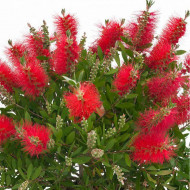 Callistemon citrinus seminte de Callistemon planta perena exotica, Vilmorin