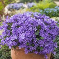 Campanula Blue (in ghiveci de 1 L), rasad de Campanula Portenschlagiana Blue, planta perena cu flori albastre in forma de clopotei