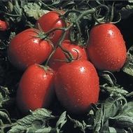 Candia F1 - 1000 sem - Seminte de rosii cu crestere determinata si viguroasa ce se remarca prin productivitate mare chiar si pe soluri mai putin fertile fiind exceptionale pentru paste(procesare) si feliere de la Isi Sementi