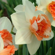 Candy Princess (5 bulbi), narcise albe cu portocaliu, bulbi de flori