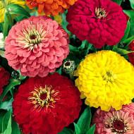 Carciumarese mari mix (100 seminte) de flori Carciumareasa mare mix