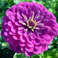 Carciumarese mari mov (0,9 g) seminte de flori anuale in culoare aprinsa de mov, Agrosem
