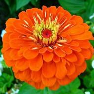 Carciumarese mari portocalii (0,9 g) seminte de flori anuale in culoare aprinsa de portocaliu, Agrosem