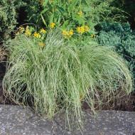 Carex Amazon Mist (ghiveci 1 l), planta perena ornamentala rogoz