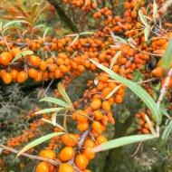 Catina, 3 butasi de catina soi foarte productiv, cu fructe galben-portocalii, cu efect vitaminizant, imunostimulator, antiinflamator, detoxifiant, Yurta