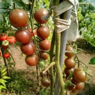 Chocolate Cherry (35 seminte) rosii cherry negre, culoare de la violet la mahon, timpurii, USA