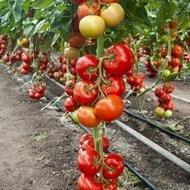 Cinto F1 - 1000 sem - Seminte de rosii cu crestere nedeterminata si rezistente deosebite pretabil atat cultivarii in camp deschis cat si in solar de la Rijk Zwaan
