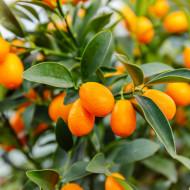 Citrus Kumquat (ghiveci 12 l), butas arbust fructifer kumquat, planta autofertila, fructe parfumate