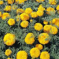 Craite Fantastic (0.2 gr) seminte de craite Golden Yellow (Tagetes erecta)