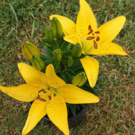 Crin Fant Asiatic Yellow Hot Spot (3 bulbi) culoare galben, bulbi de Crini