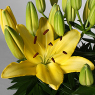 Crin Goldwing (1 bulb) culoare galbena, bulbi de Crini