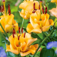 Crini Apricot Fudge (1 bulb), floare galbena deosebita, bulbi de flori