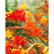 Crocosmia Bigflowering (10 bulbi), planta eleganta cu flori galben-portocalii, bulbi de flori
