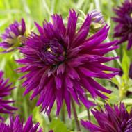 Dalie Blue-Record (1 bulb), bulbi de dalii cu flori tip cactus, cu petale ascutite de culoare roz inchis-mov, bulbi de flori