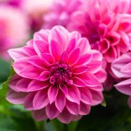 Dalie Lucky Number (1 bulb), bulbi de dalii cu flori de un roz vibrant, cu mai multe randuri de petale, bulbi de flori