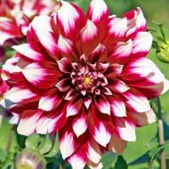 Dalie Siedlerstolz (1 bulb), floare cu petale bicolore, rosu inchis cu varful alb, bulbi de flori