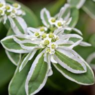 Euphorbia (0,4 g), seminte de planta anuala rustica decorativa, Agrosem